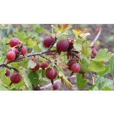Касис (Ribes Uva-Crispa Hinnonmäki Röd)
