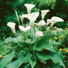 Кала за есенно засаждане (бяла)