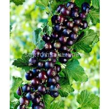 Касис черен Titania - black currant Titania