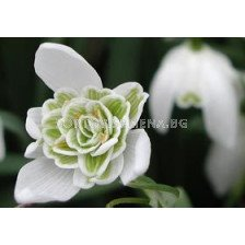 Кичесто кокиче (Fiore Pleno) - snowdrop