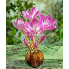 Колхикум Гигант (Есенен минзухар) - autumn crocus