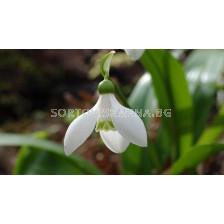 Кокиче (Snowdrop) Galanthus Worowonii