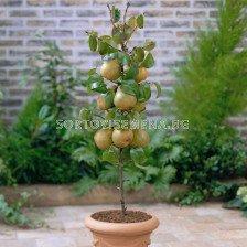 Круша едноколонна - Pear