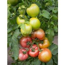 Семена домати KS 311 F1 - tomato KS 311 F1