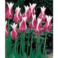 Лале (Tulip)  Lilyflowering Claudia