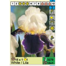 Ирис /iris germanica white/lila/ 1 бр