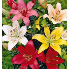 Лилиум (Lilium) Asiatic Микс