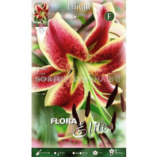 Лилиум хибрид (Lilium Hybrid) Sheherazade