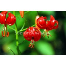 Лилиум  / Lilium species pumilum / 1 бр