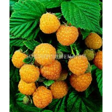 Малина жълта - Raspberry yellow - Patio plant