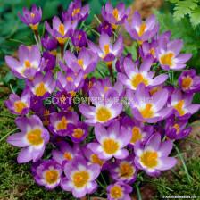 Минзухар  tricolor - Crocus tricolor