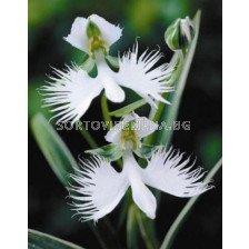 Орхидея - Habenaria radiata 1бр