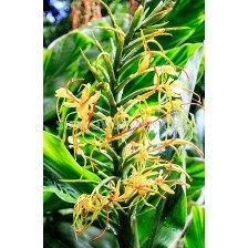 Хедихиум - Hedychium gardnerianum - 1бр