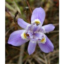 Гинандририс Sisyrinchium - 1бр