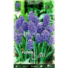 Мускари (Muscari) Blue Spike