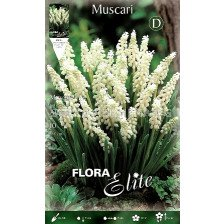 Мускари бели (Muscari botrioides album)