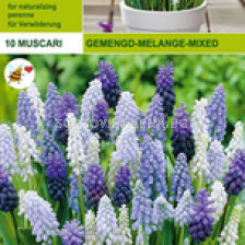 Мускари микс (Muscari mixed)