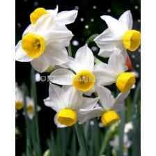 Нарцис Species Topolino - 1бр