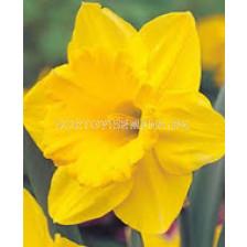 Нарцис (Narcissus) Carlton