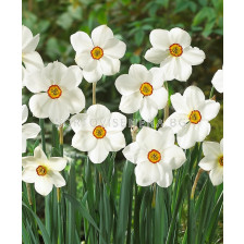 Нарцис (Narcissus) Poeticus Actaea