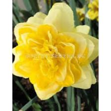 Нарцис (Narcissus) Sweet Pomponette