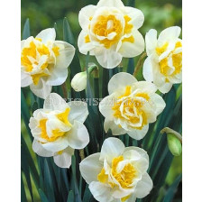 Нарцис (Narcissus) Double Flower Drift