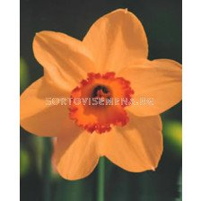 Нарцис (Narcissus) Altruist