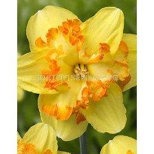 Нарцис (Narcissus) Blazing Starlet