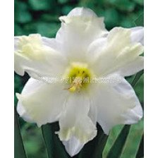 Нарцис (Narcissus) Cassata