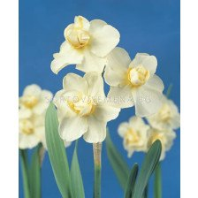 Нарцис (Narcissus) Cheerfulness