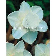 Нарцис (Narcissus) Moint Hood