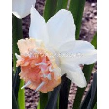 Нарцис (Narcissus) Petit Four
