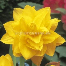 Нарцис (Narcissus) Double Golden Ducat