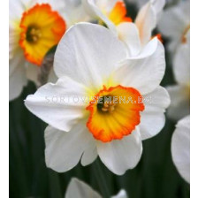 Нарцис (Narcissus) Large-cupped Flower Record