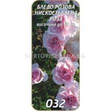 Нискостъблена роза 032
