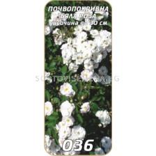 Нискостъблена роза 036