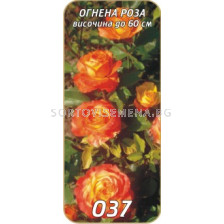 Нискостъблена роза 037