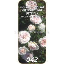 Нискостъблена роза 042