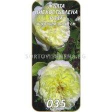 Нискостъблена роза 035