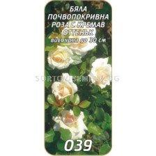 Нискостъблена роза 039