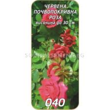 Нискостъблена роза 040