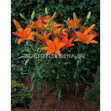 Лилиум  / Lilium asiatic 'Orange Ton' / 1 бр