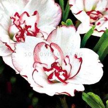 Оксалис /Oxalis 'Double Pink Wonder'/ 1 бр