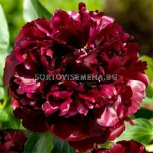 Божур - Paeonia Black Beauty - 1 бр