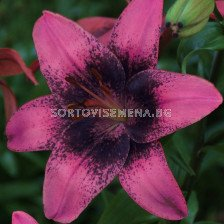 Лилиум  / Lilium asiatic 'Purple Dream' / 1 бр