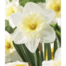 Нарцис ( Narcissus) Large-cupped Ice Follies
