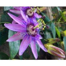 Пасифлора лилава - Passiflora hibride purple