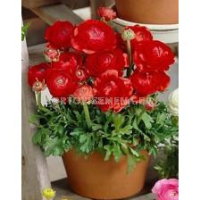 Ранункулус Tomer red
