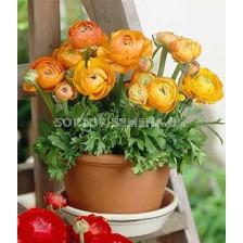 Ранункулус Tomer orange