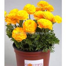 Ранункулус Tomer Yellow